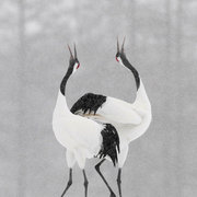 Red Crowned aka Japanese Cranes