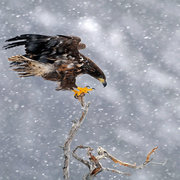 White-tailed Eagles of Norway