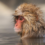Japanese Macaque aka Snow Monkey