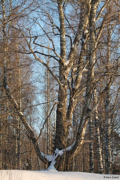 foxfire'smother of birches.jpg