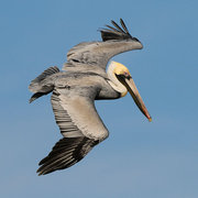 Brown Pelicans of Florida